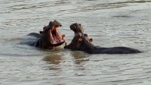 DSC08436 Bénin - Pendjari (Jeu d'Hippopotames) semi-réduite