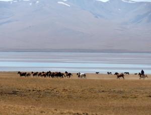 voyage solidaire au Kirghizstan - chevaux sauvages