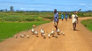 voyage solidaire à Madagascar - les oies