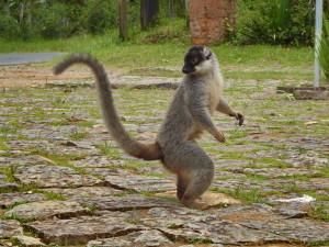 rencontre solidaire à Madagascar - Lémurien
