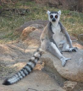 voyage équitable à Madagascar - Le maki Catta