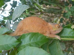 voyage solidaire à Madagascar - caméléon