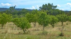 P1150111 Ventoux - Entre Maubec et Gordes (Truffière)